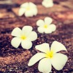 Frangipani plumeria flowers on stones — Stock Photo #55532513