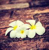 Frangipani plumeria flowers — Photo