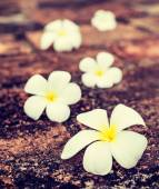 Frangipani plumeria flowers on stones — Photo