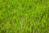 Rice paddy field close up — Stock Photo