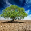 Lonely green tree on cracked earth — Stock Photo #55786117