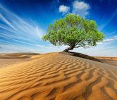 Lonely green tree in desert dunes — Stock Photo