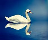Mute Swan Cygnus olor — Stock Photo