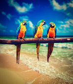 Three parrots Blue-and-Yellow Macaw Ara ararauna — Stock Photo