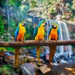 Blue-and-Yellow Macaw Ara ararauna — Stock Photo #58956585