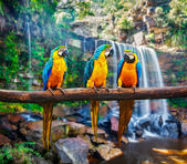 Blue-and-Yellow Macaw Ara ararauna — Stock Photo