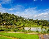 Green rice terraces — Stock Photo
