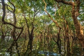 Flooded trees in mangrove rain forest — Stock Photo