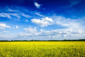 Spring summer background canola field and blue sky — Stock Photo