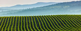 Panorama of furrows with sprouts in rolling ploughed fields — Stock Photo