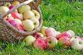 Organic Apples in the Basket. — Stock Photo