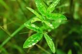 Plants de trèfle — Photo