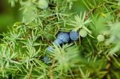 Juniper berries on the tree — Stock Photo