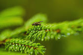 Fir tree with fly — Stock Photo