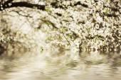 Plum flowers — Stockfoto