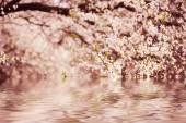 Plum flowers — Stock Photo