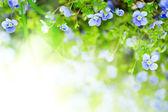 Цветы Незабудка — Стоковое фото