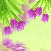 Fleurs de tulipe sur le blanc — Photo