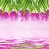Тюльпан цветы на белом — Стоковое фото