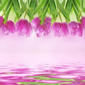Tulip flowers on the white — Stock Photo