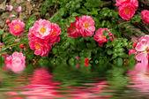 Flowers of dog rose — Stock Photo