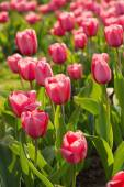 Red beautiful tulips — Stock Photo