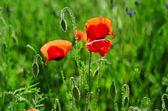Poppy in a field — Stock Photo