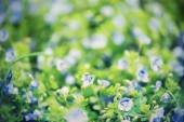 Forget-me-not flowers — Stock Photo