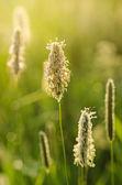 Ear sunny field — Stock Photo