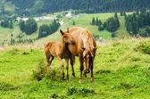Bay horses grazes in the mountains — ストック写真