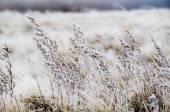Frozen meadow flower — Stock Photo