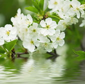 Cherry flowers — Stock Photo