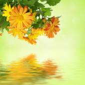 Chrysanthemum floral background — Stock Photo