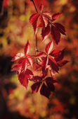 Wild grape red leaves — Stock Photo