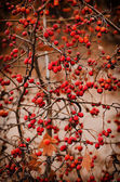 Hawthorn berries in nature — Stock Photo