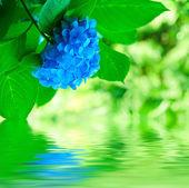 гортензии цветы — Стоковое фото