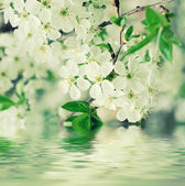 Cherry flowers — Stockfoto