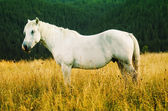White horse grazes in the mountains — Stock Photo