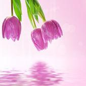 Тюльпан цветы фон — Стоковое фото