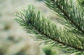 Pine iced tree — Stock Photo