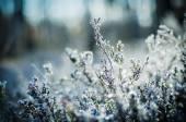 Frozen heather flower — Photo