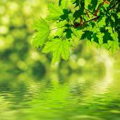 Yeşil akçaağaç yaprakları — Stok fotoğraf