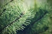 Pine iced tree — Stok fotoğraf