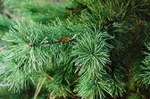 Pine iced tree — Stockfoto