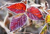 Frozen blackberry leaves — Stock Photo