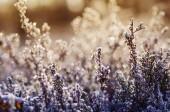 Frozen heather flower — Stock Photo