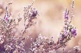 Frozen heather flower — Zdjęcie stockowe