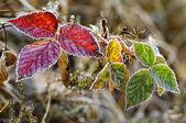Jeżyna mrożonych liści — Zdjęcie stockowe