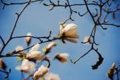 Flores de magnólia-branca — Fotografia Stock