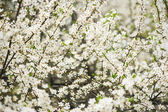 Plum flowers — Stock Photo